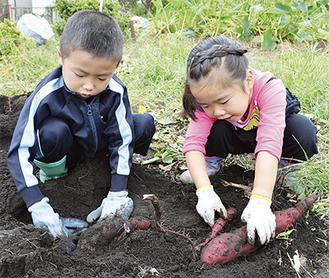 傷つけないようにサツマイモを掘る子どもたち