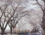 海軍道路の桜並木