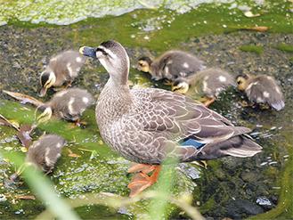 親鳥の周りに集まる雛たち