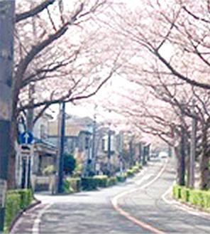 桜が咲き誇る野境道路※写真は過去のもの