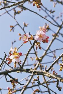 薄ピンク色の花を咲かせた河津桜※2月9日撮影