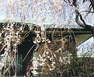 善昌寺の桜※写真は過去のもの
