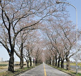 ソメイヨシノが道路を包み込む※写真は昨年
