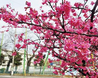 瀬谷さくら小近くにある河津桜※8日撮影