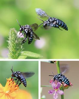花にとまるナミルリモンハナバチ
