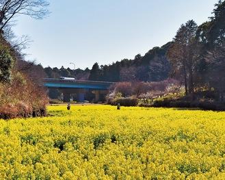 満開に咲いた菜の花畑で写真撮影を楽しむ姿も