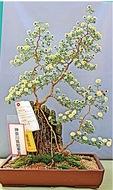 小菊盆栽で県知事賞