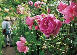 上甲さん夫妻が育てたバラが咲く庭。多くの人が見学に訪れた