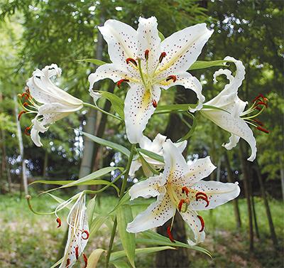 県の花ヤマユリ
