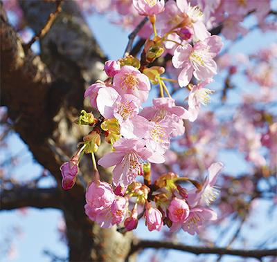 河津桜、可憐に咲く