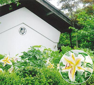 庭先に大輪のヤマユリ