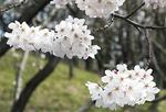 緑園総合高校付近の子易川沿いに咲く桜は満開だった(上)。地蔵原の水辺では咲き始めだったが観賞する人が多く見られた (いずれも4月7日撮影)