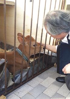 駅前に登場した生後2カ月の子牛