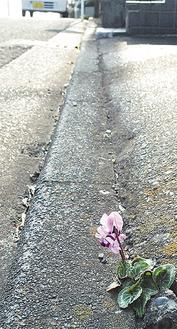 舗装のすきまに咲く花
