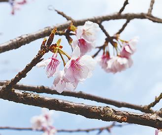 咲き始めたイズミザクラ(3月10日撮影)