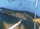 1m超外来魚を捕獲