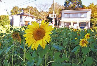 太陽に向けて花開くヒマワリ