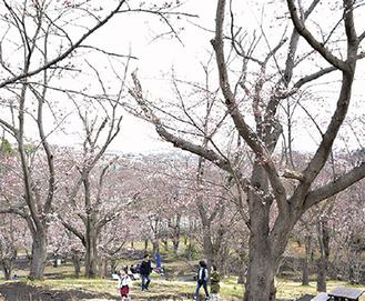 山一面が桜色に(24日撮影)