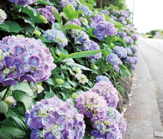 中田中央公園外周に咲くアジサイ