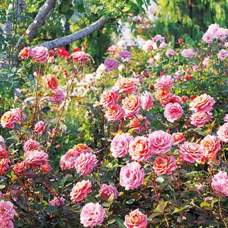 春とは異なる魅力が楽しめる秋バラ