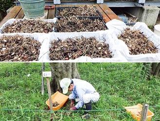 寄贈された球根(上)と植え付け中の職員