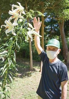 ヤマユリの花と背丈を比べる愛護会の木立さん