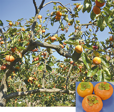 秋の味覚柿たわわ