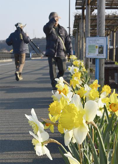 道を彩る黄水仙