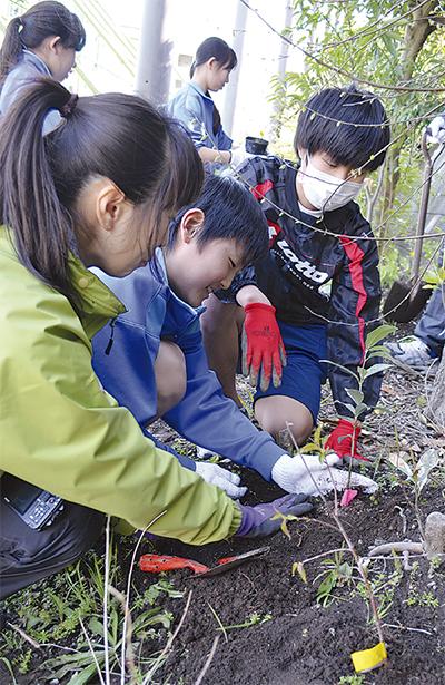 防災林再生に向け補植