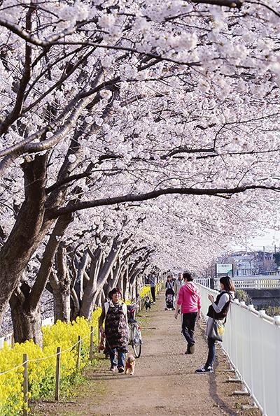 桜と菜の花華麗な競演