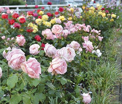 彩り豊かなバラ満開