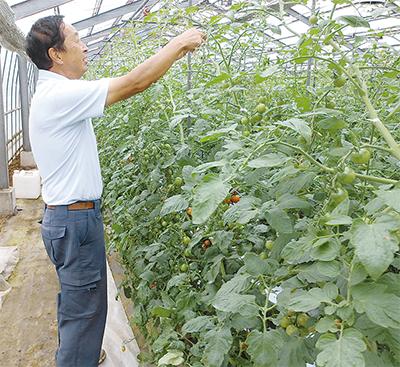 トマト収穫始まる