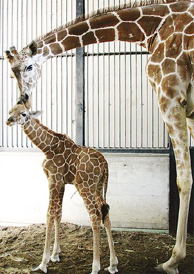 キリンの赤ちゃん誕生