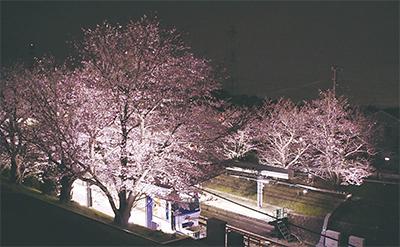 桜44本がライトアップ