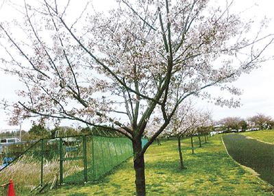 神明台の桜美しく