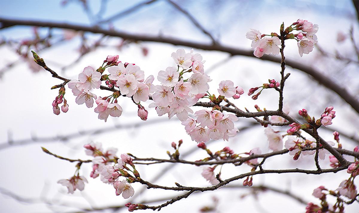 同公園の桜(昨年)