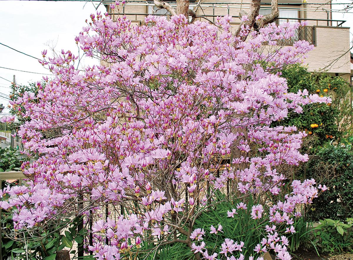 庭先飾る満開の薄紫