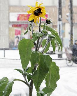 風雪に耐えて健気に咲くヒマワリ(1月14日撮影)