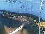 1m超えの外来魚を捕獲