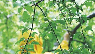 収穫量も豊富な同園の梅