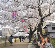 柏尾川の桜 咲き誇る