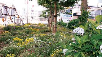 アジサイが咲く、東口バスロータリーの花壇