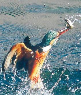 光本さんが撮影したカワセミが魚を捕獲した瞬間