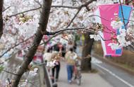 柏尾川の桜で春満喫