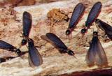 黒い羽アリはシロアリ被害のサイン