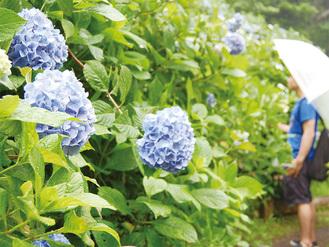 園内に咲き誇るアジサイ