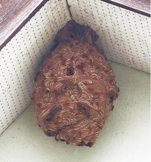 大きくなったスズメバチの巣