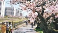 かれんな柏尾川沿いの桜