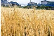 舞岡の麦 大きく実る