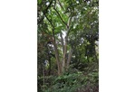 シンボルの一つコブシの大木